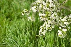 Sfondo naturale della primavera con il ramo di fioritura luminoso fotografia stock libera da diritti