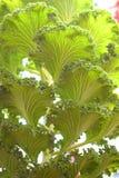 Sfondo naturale delle foglie verdi astratte - cavolo ornamentale - brassica oleracea fotografie stock