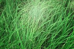Sfondo naturale di alta erba Immagini Stock