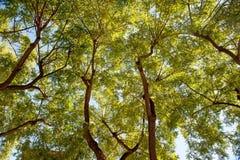 Sfondo naturale di fogliame verde e rami neri strutturati di un albero Vista dal basso Immagine Stock Libera da Diritti