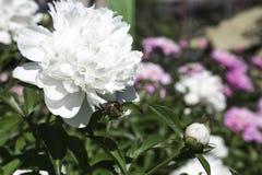 sfondo naturale floreale di estate Fiore bianco della peonia nel Gard Immagini Stock Libere da Diritti