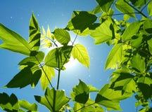 Sfondo naturale, foglie verdi attraverso sole Fotografia Stock