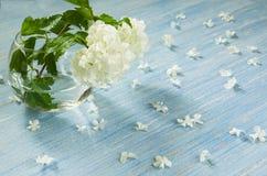 Sfondo naturale Globo bianco della neve di viburno sul fondo di legno blu della tavola, stagione estiva Fotografia Stock Libera da Diritti