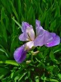 Sfondo naturale, iride viola in fiore immagini stock libere da diritti