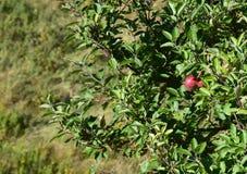 Sfondo naturale verde con di melo fotografia stock libera da diritti