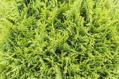 Sfondo naturale verde del thuja Struttura Fotografia Stock Libera da Diritti
