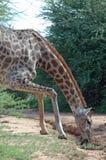 Sforzo della giraffa. Fotografia Stock