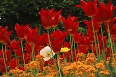 Sforzo porpora raro dei tulipani Fotografie Stock Libere da Diritti