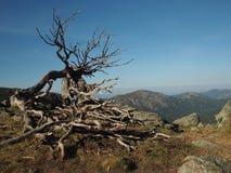 Sfreghi il cielo blu secco dell'albero del pino sulle montagne di un paesaggio del fondo fotografie stock