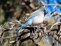 Sfreghi la fauna selvatica dell'animale di regione di Jay Blue Bird Great Basin Fotografie Stock Libere da Diritti