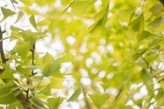 Sfuocatura astratta e blackground molle delle foglie di ginko immagini stock