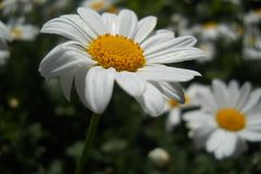 Sfuocatura bianca del fondo del macro fiore della foto fotografia stock