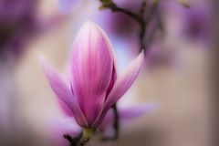 Sfuocatura del fiore della magnolia Fotografia Stock Libera da Diritti