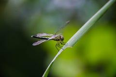 Sfuocatura della libellula Fotografia Stock