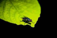 sfuocatura della mosca Immagini Stock