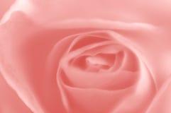 Sfuocatura della Rosa Immagini Stock