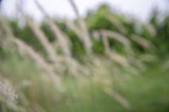 Sfuocatura - poaceae del fiore dell'erba con un fondo verde naturale fotografia stock