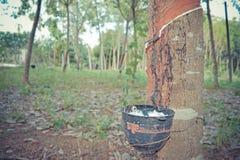 Sgocciolatura naturale del lattice da un albero di gomma Immagini Stock
