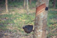 Sgocciolatura naturale del lattice da un albero di gomma Fotografia Stock Libera da Diritti