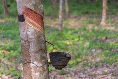 Sgocciolatura naturale del lattice da un albero di gomma Immagini Stock Libere da Diritti