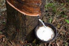 Sgocciolatura naturale del lattice dall'albero di gomma Immagine Stock