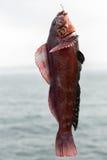 Sgombro sul gancio Pesca marittima inferiore nel Pacifico vicino a Kamchatka Fotografia Stock