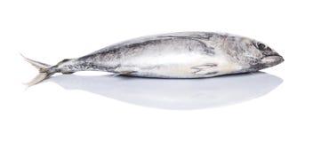 Sgombro Tuna Fish III Fotografie Stock Libere da Diritti