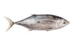 Sgombro Tuna Fish VI Immagine Stock