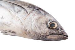 Sgombro Tuna Fish VIII Fotografie Stock