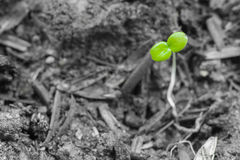 Sgreen seedling in the ground on black and white background. Small green seedling in the ground on black and white background Royalty Free Stock Images