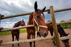 Sguardi del cavallo di baia Fotografia Stock