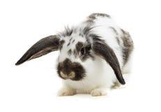 Sguardi del coniglio Fotografie Stock