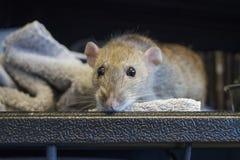 Sguardi domestici marroni fuori dalla sua gabbia al riparo animale immagine stock libera da diritti