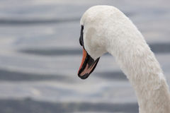 Sguardi fissi dei cigni nel lago Fotografie Stock