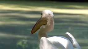 Sguardi fissi di un pellicano bianco agli uccelli di volo in uno zoo su Sunny Day video d archivio