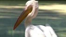 Sguardi fissi di un pellicano bianco in un lago in uno zoo su Sunny Day stock footage