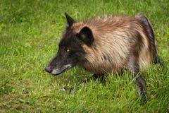 Sguardi fissi neri di lupus di Grey Wolf Canis di fase a sinistra Fotografia Stock Libera da Diritti