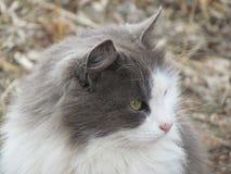 Sguardi grigi dagli occhi verdi del gatto Immagini Stock Libere da Diritti