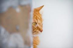 Sguardi rossi del gatto Fotografie Stock