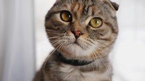 Sguardi svegli del giovane gatto sveglio alla macchina fotografica, primo piano video d archivio