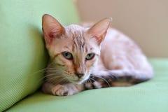 Sguardo abissino del gatto Immagine Stock Libera da Diritti