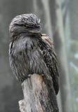 Sguardo alto vicino di grande a Gray Feathered Tawny Frogmouth fotografia stock libera da diritti