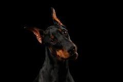 Sguardo curioso del cane del pinscher del doberman del primo piano in camera, il nero isolato Fotografia Stock Libera da Diritti
