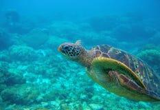 Sguardo da vicino della tartaruga verde Foto subacquea esotica della tartaruga marina Animale oceanico in natura selvaggia immagini stock