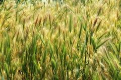Sguardo da vicino sul giacimento di cereale fresco del weath Fotografia Stock