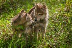 Sguardo dei cuccioli di lupus di Grey Wolf Canis ad a vicenda Fotografia Stock Libera da Diritti