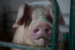 Sguardo dei maiali Fotografia Stock Libera da Diritti