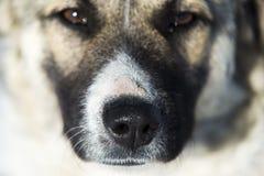 Sguardo del cane Fotografia Stock