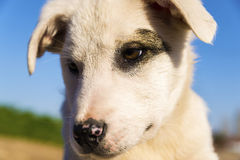Sguardo del cane Immagini Stock