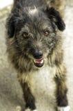 Sguardo del cane Fotografie Stock Libere da Diritti